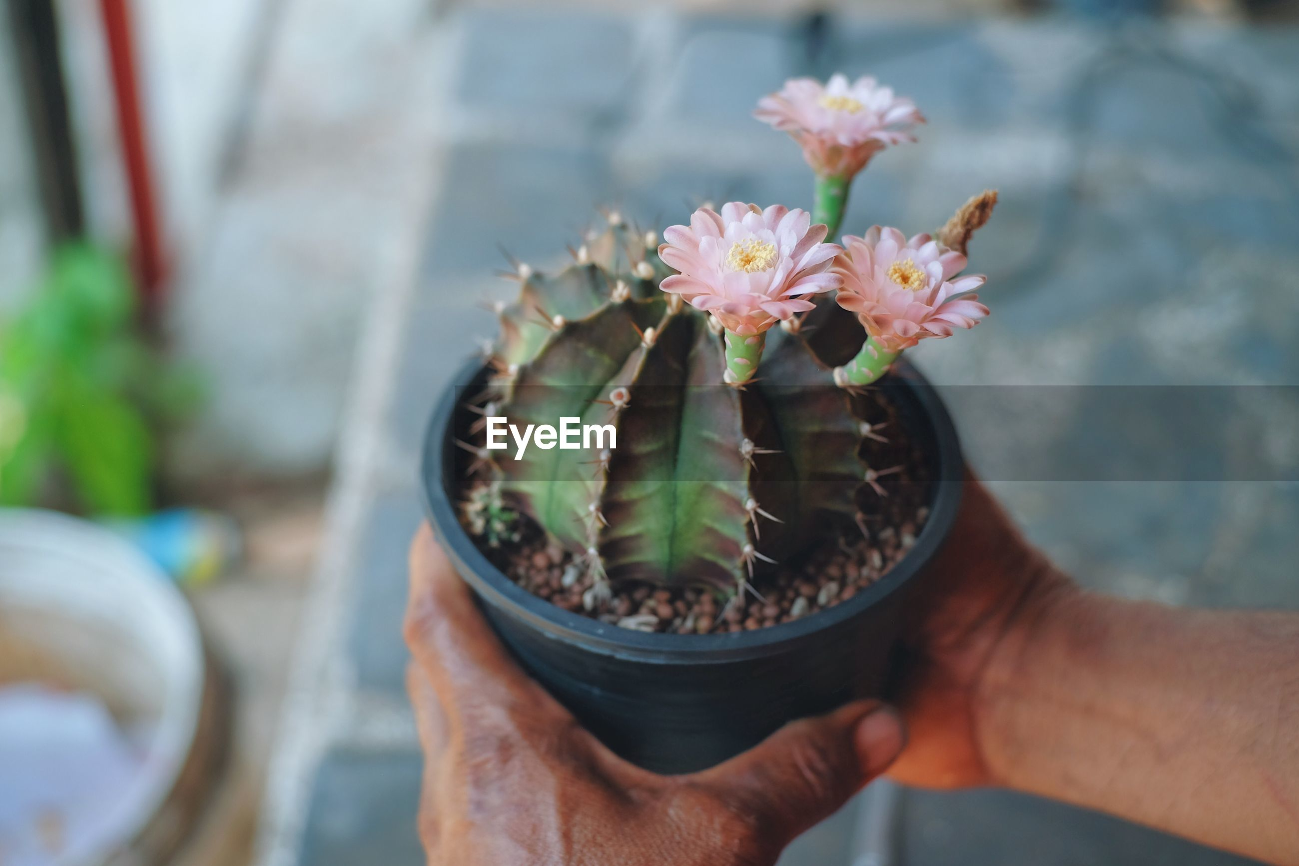 Cropped hand of person holding cactus flower pot
