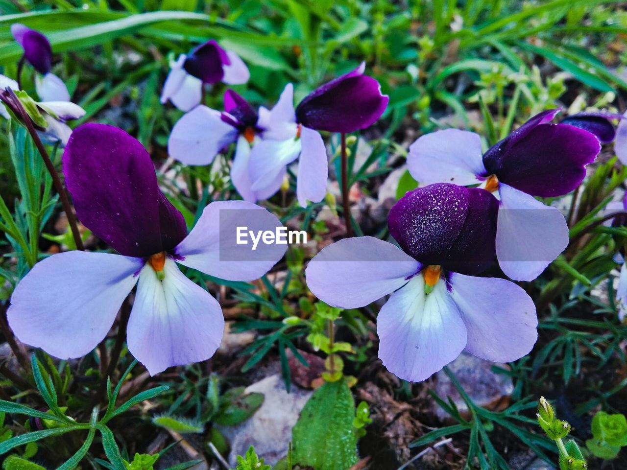 flower, fragility, petal, purple, beauty in nature, growth, freshness, day, nature, flower head, focus on foreground, high angle view, outdoors, plant, close-up, no people, blooming, periwinkle