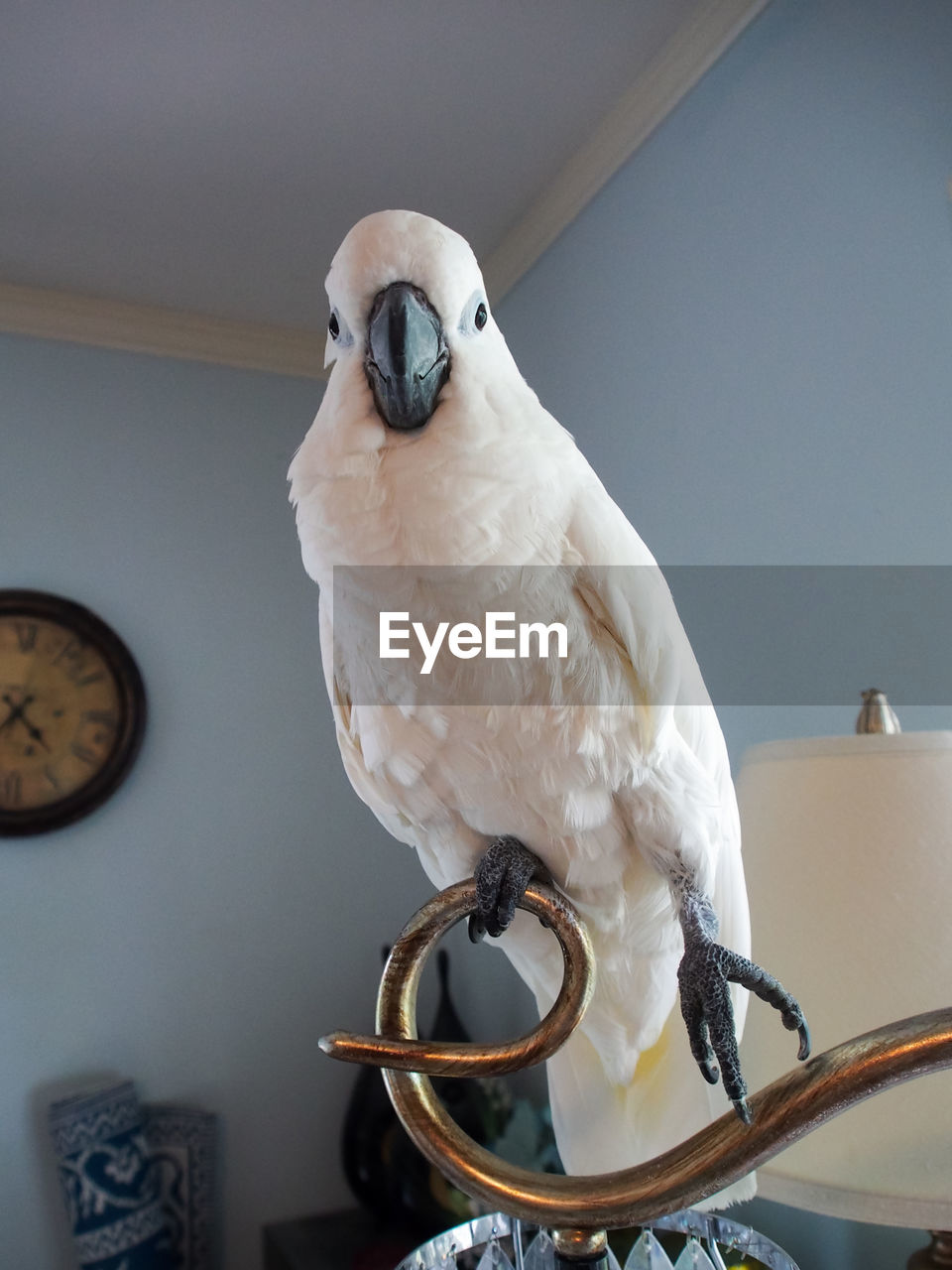 bird, vertebrate, animal, animal themes, one animal, parrot, perching, animal wildlife, cockatoo, animals in the wild, white color, no people, focus on foreground, indoors, day, home interior, close-up, pets, beak, looking away