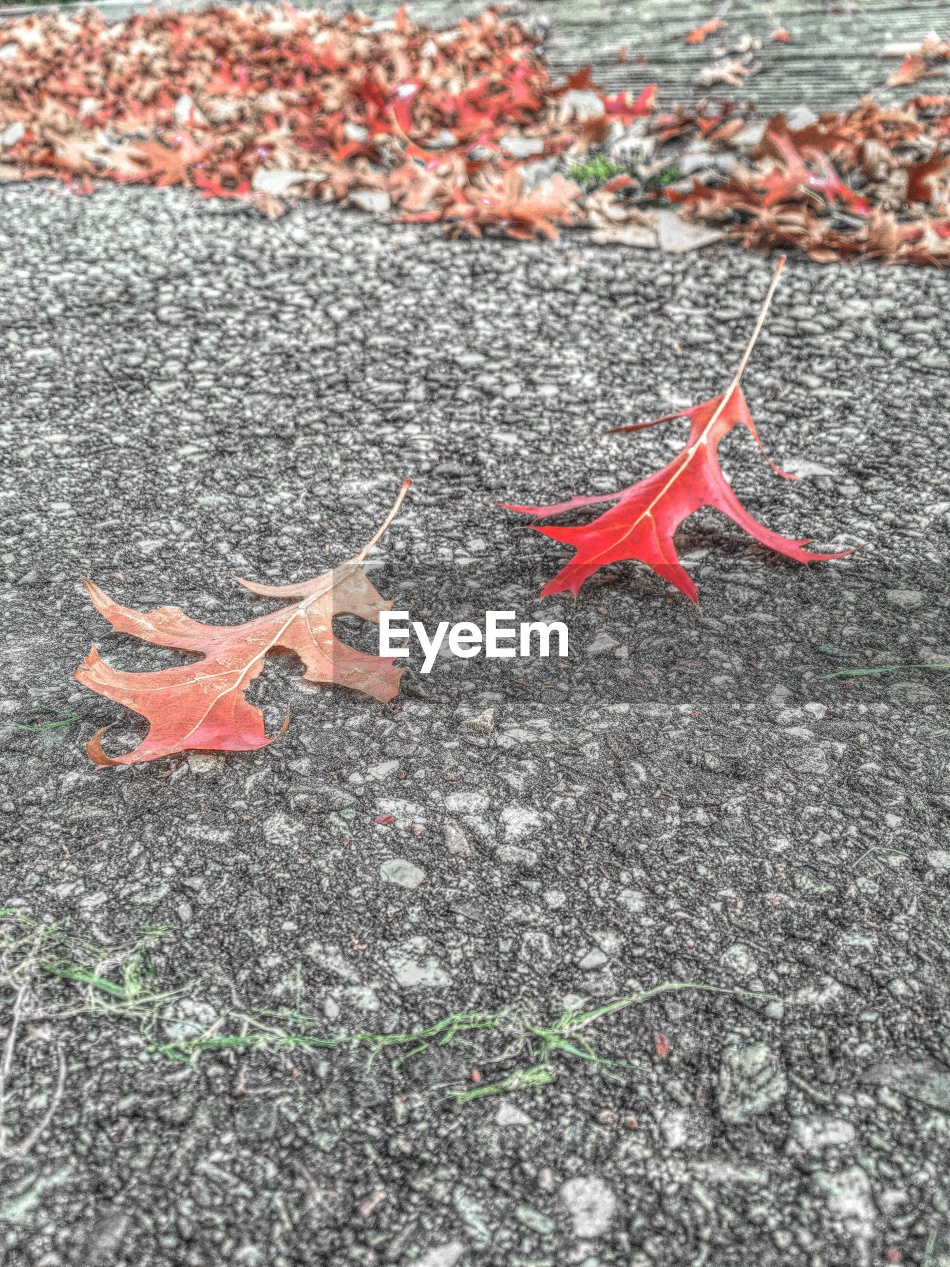 red, autumn, high angle view, leaf, change, asphalt, street, maple leaf, close-up, fallen, road, textured, dry, day, season, nature, ground, outdoors, no people, leaves