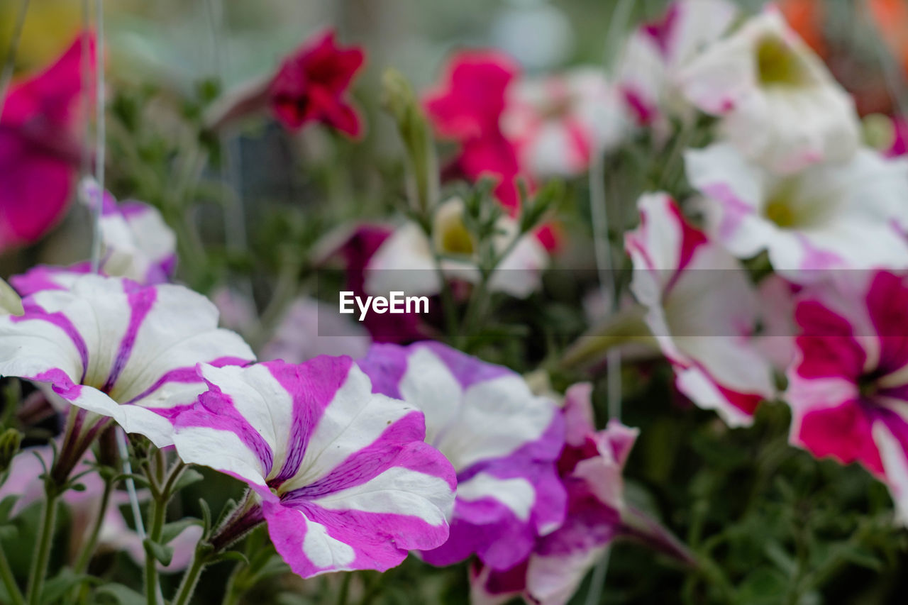 flower, growth, petal, nature, plant, beauty in nature, fragility, no people, blooming, close-up, outdoors, day, freshness, flower head, periwinkle