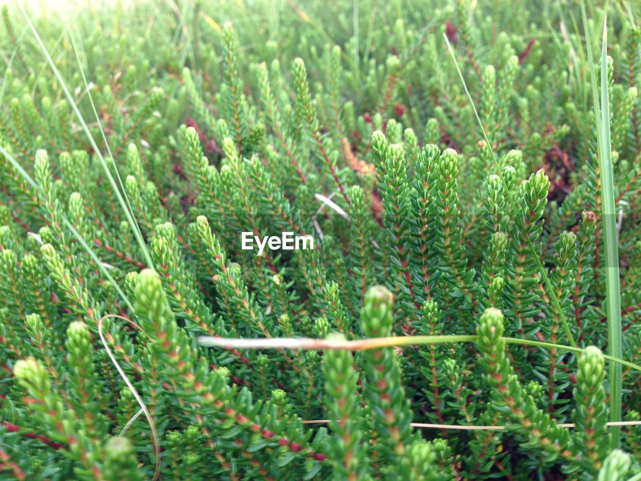 Close-Up Of Coniferous Tree