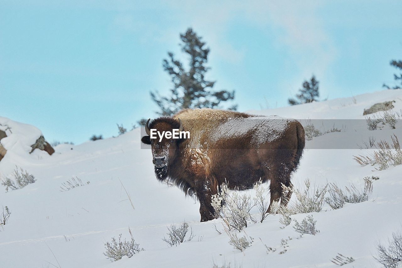 American bison on snow field against sky during winter