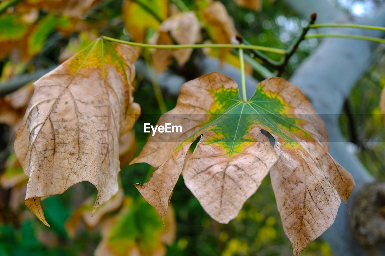leaf, plant part, close-up, plant, focus on foreground, beauty in nature, no people, day, nature, leaves, change, autumn, vulnerability, growth, fragility, dry, outdoors, tree, leaf vein, selective focus, natural condition, dried