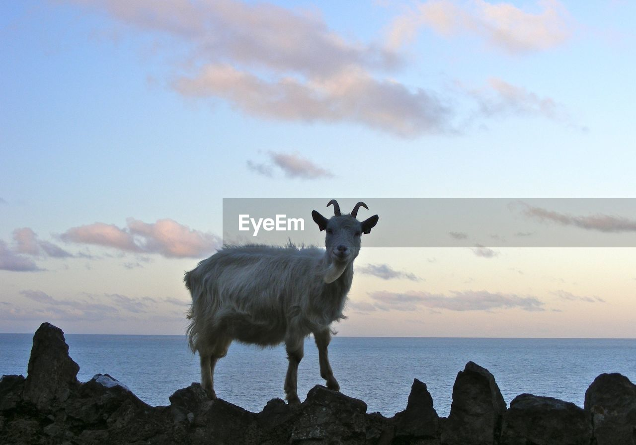 Mountain Goat Standing On Rocks Against Sea And Sky At Dusk