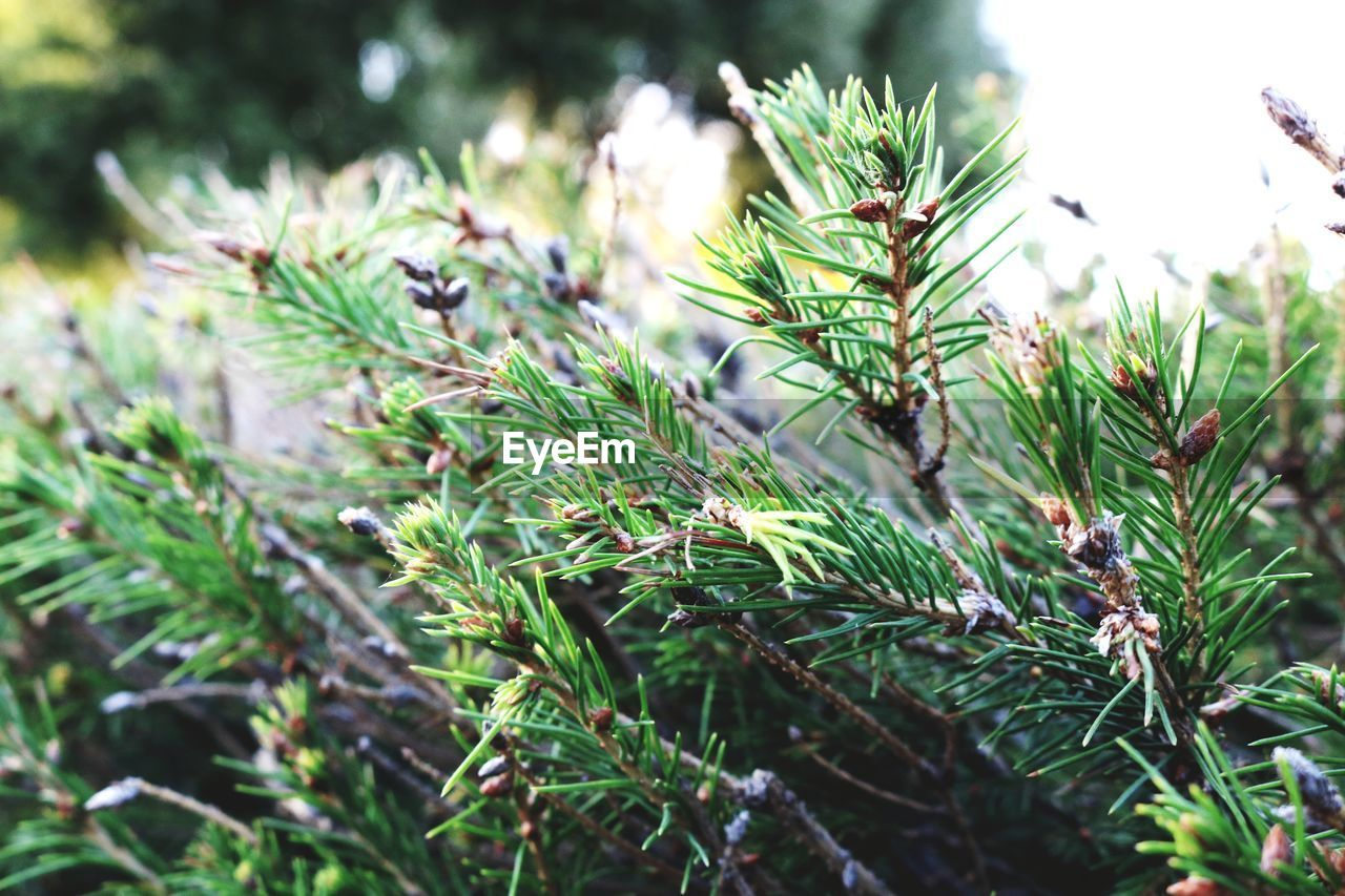 growth, plant, green color, beauty in nature, selective focus, nature, close-up, day, no people, tranquility, focus on foreground, leaf, outdoors, plant part, tree, field, land, freshness, sunlight, pine tree, needle - plant part, coniferous tree