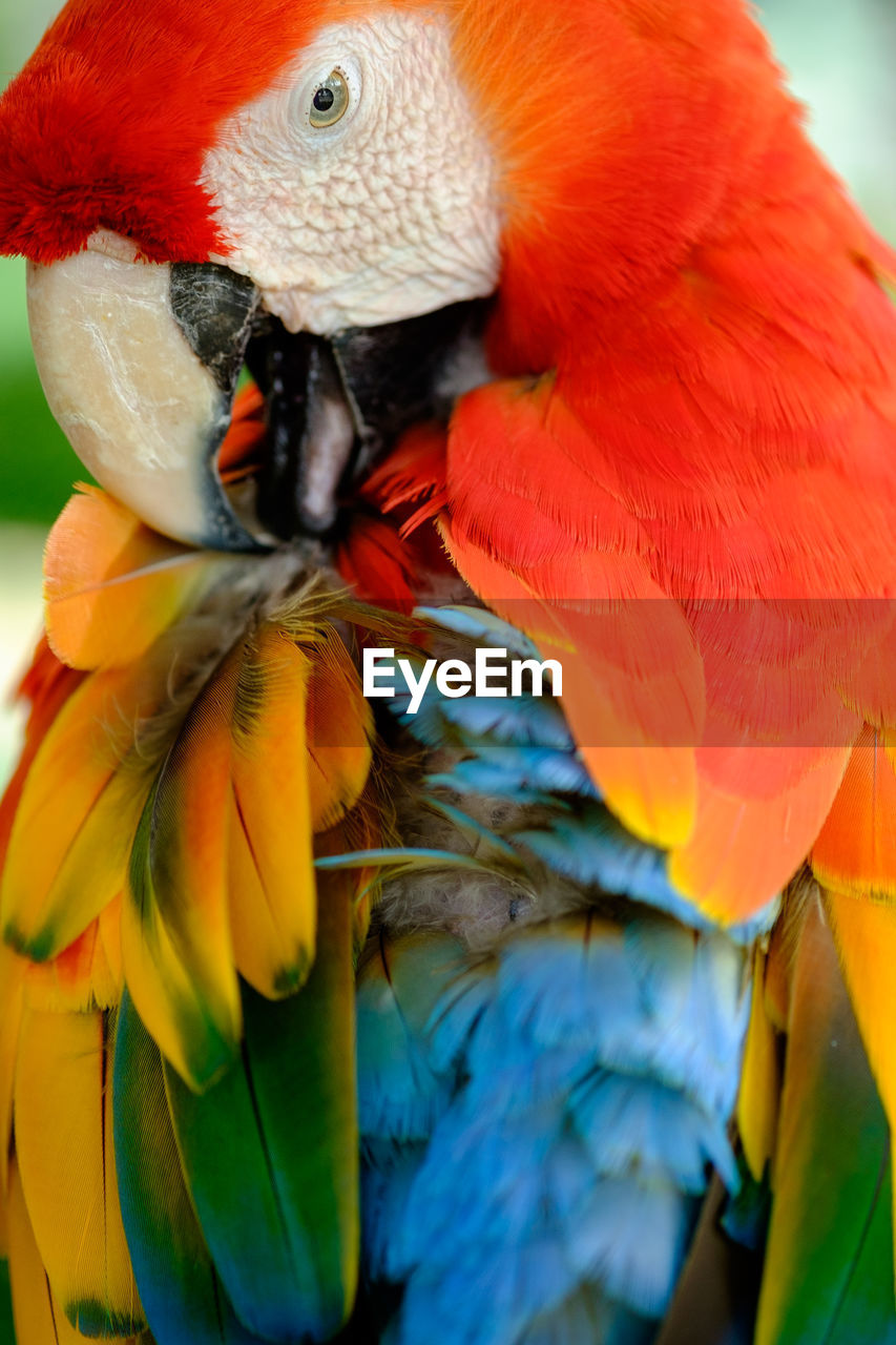 bird, animals in the wild, animal themes, animal wildlife, one animal, close-up, no people, parrot, nature, macaw, beauty in nature, red, day, outdoors, beak