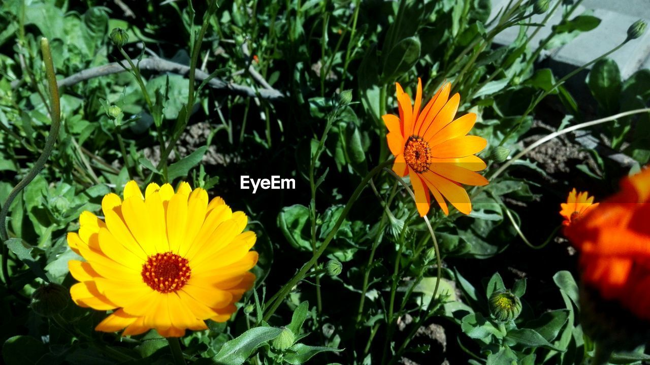 flower, yellow, petal, beauty in nature, nature, flower head, growth, plant, fragility, freshness, blooming, no people, outdoors, gazania, leaf, sunflower, close-up, day, marigold, cosmos flower, black-eyed susan