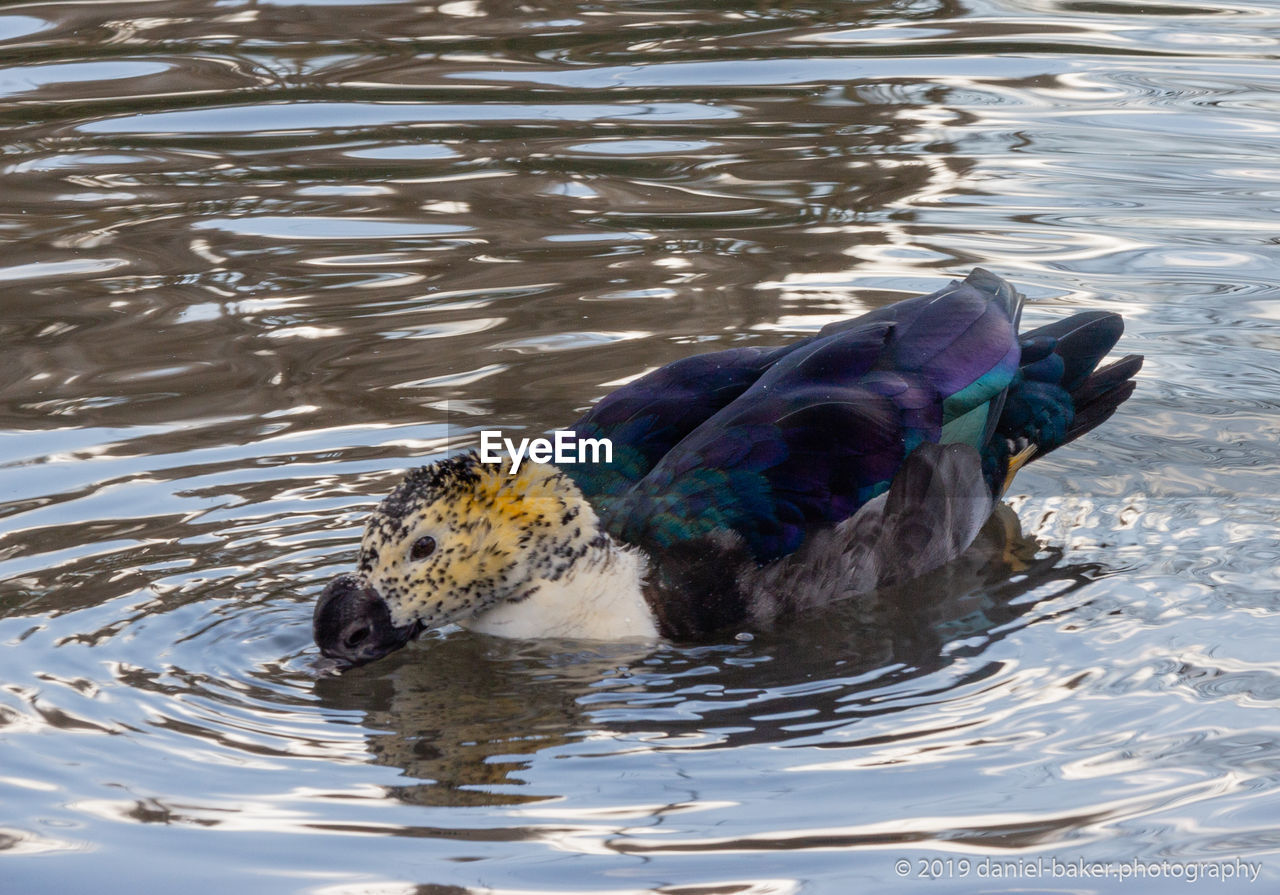 animal themes, animal, bird, water, animal wildlife, vertebrate, animals in the wild, one animal, lake, waterfront, rippled, swimming, day, nature, no people, duck, reflection, outdoors, poultry
