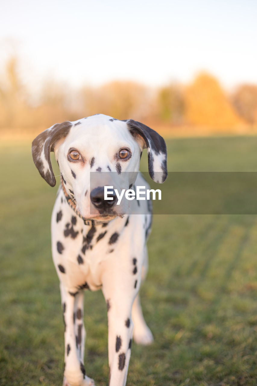 dog, canine, domestic, mammal, pets, animal themes, one animal, domestic animals, animal, field, portrait, looking at camera, vertebrate, focus on foreground, land, dalmatian dog, nature, spotted, day, landscape, no people, outdoors