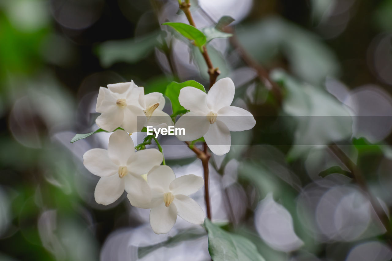 white color, flower, petal, fragility, nature, beauty in nature, day, freshness, growth, plant, no people, flower head, close-up, outdoors, blooming, periwinkle