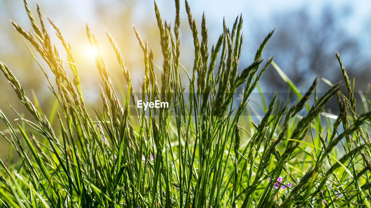 plant, growth, field, land, green color, nature, beauty in nature, grass, tranquility, no people, sky, sunlight, agriculture, close-up, day, crop, landscape, outdoors, selective focus, rural scene, blade of grass, plantation