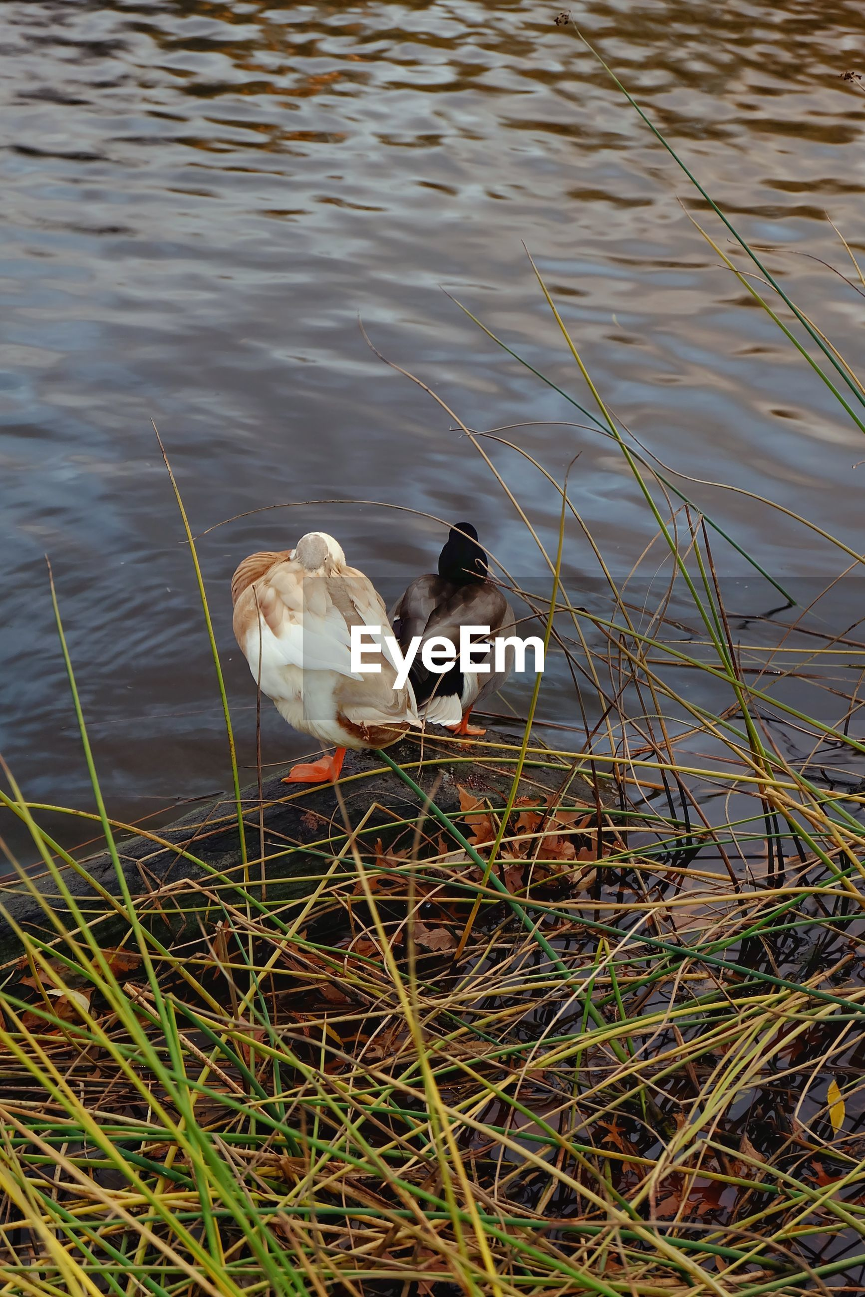 bird, animal themes, one animal, animals in the wild, animal wildlife, nature, lake, grass, water, perching, outdoors, no people, day