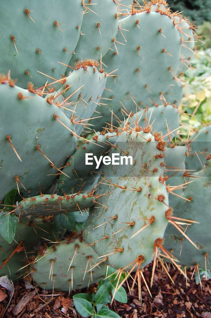plant, succulent plant, cactus, growth, day, nature, thorn, beauty in nature, no people, close-up, spiked, prickly pear cactus, high angle view, green color, land, focus on foreground, sharp, field, tranquility, selective focus, outdoors