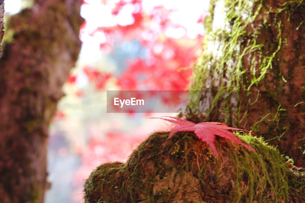 plant, trunk, tree trunk, focus on foreground, close-up, day, tree, nature, outdoors, growth, beauty in nature, selective focus, textured, no people, multi colored, rough, change, plant bark, autumn, pink color, bark, leaves