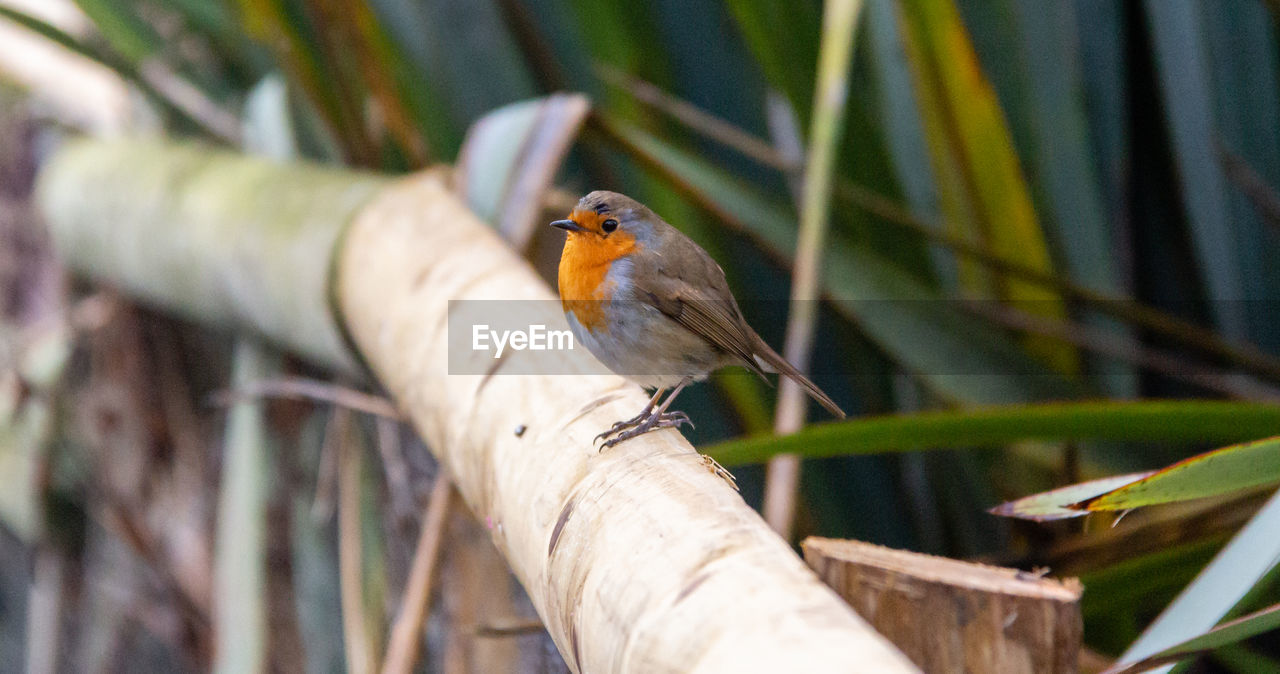 animal themes, vertebrate, animal, bird, animals in the wild, animal wildlife, one animal, perching, robin, branch, tree, plant, no people, nature, selective focus, day, outdoors, wood - material, close-up, focus on foreground