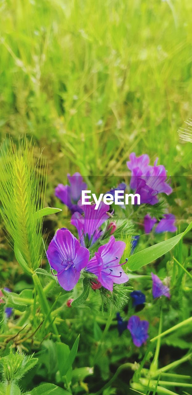 flowering plant, flower, plant, vulnerability, fragility, freshness, beauty in nature, growth, purple, petal, close-up, flower head, inflorescence, green color, nature, field, land, no people, selective focus, day