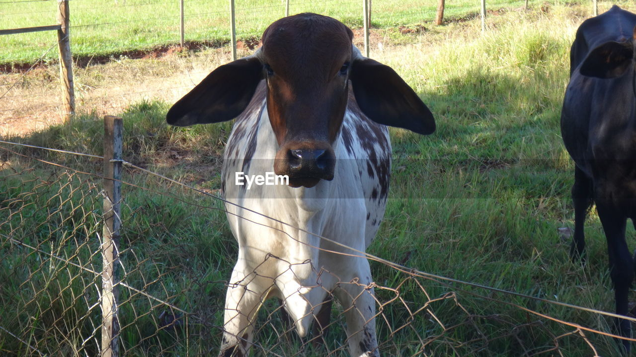 animal, mammal, animal themes, domestic animals, domestic, pets, vertebrate, field, land, grass, one animal, fence, livestock, plant, boundary, portrait, barrier, cattle, nature, no people, outdoors, herbivorous, animal head