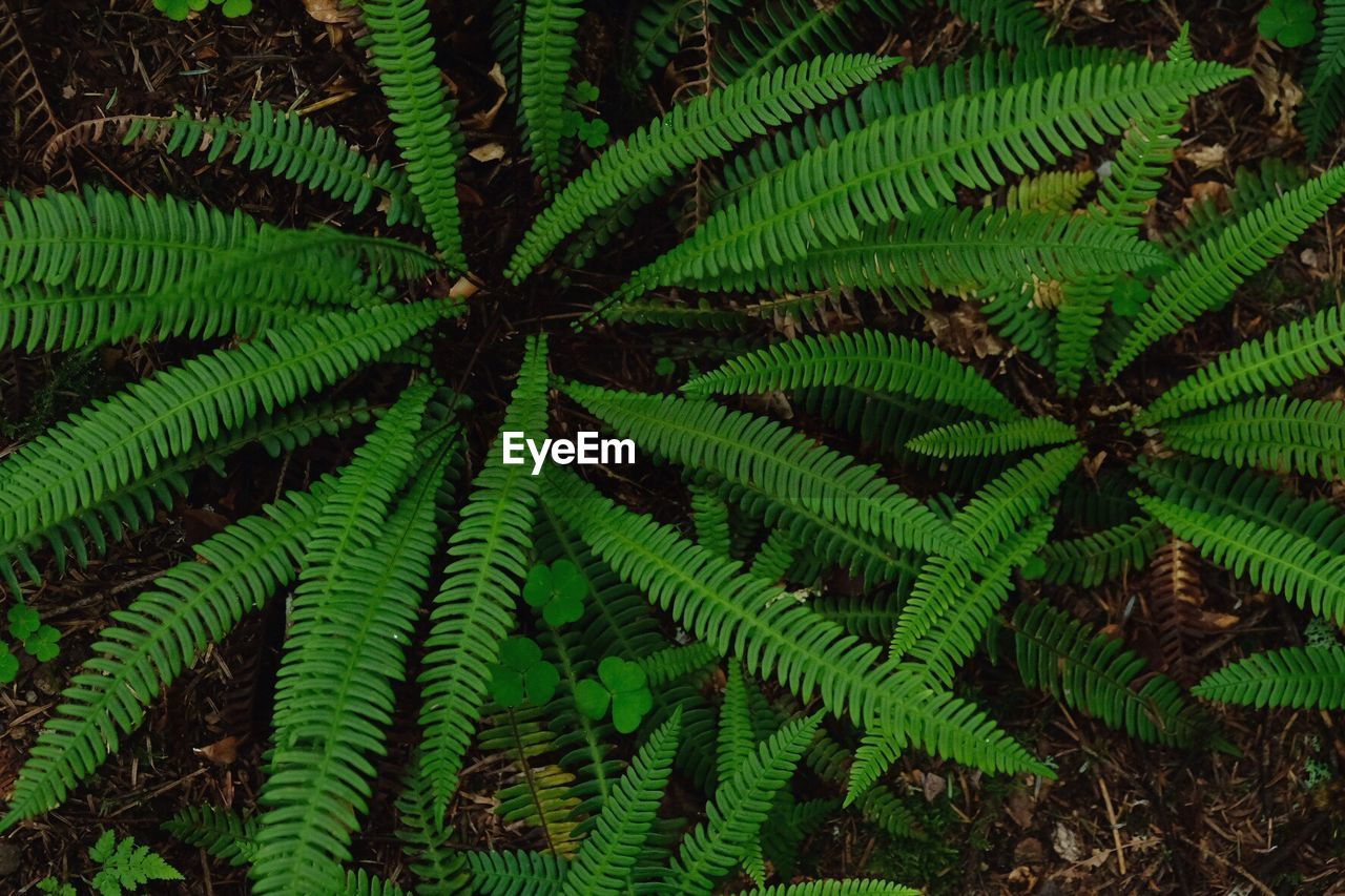 green color, growth, nature, plant, leaf, beauty in nature, fern, day, freshness, no people, outdoors, full frame, close-up, fragility