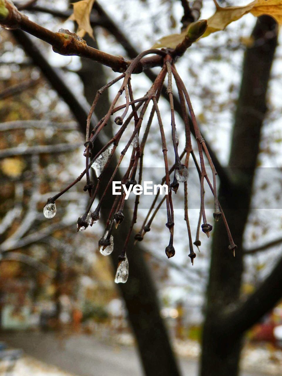 plant, tree, focus on foreground, branch, close-up, no people, nature, day, beauty in nature, growth, tranquility, selective focus, fragility, vulnerability, outdoors, twig, pussy willow, dry, drop