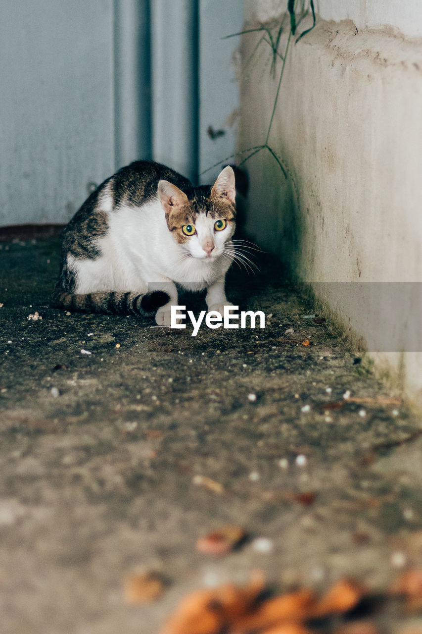 mammal, cat, domestic animals, pets, feline, domestic, domestic cat, one animal, vertebrate, selective focus, looking at camera, no people, portrait, sitting, day, stray animal, young animal, whisker, surface level