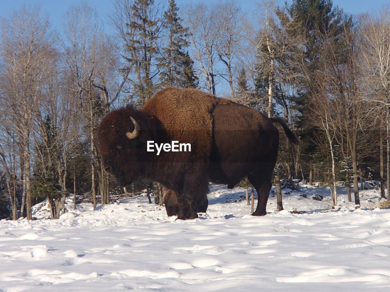 winter, snow, cold temperature, animal themes, field, nature, mammal, one animal, no people, outdoors, bull, tree, beauty in nature, day, standing, domestic animals, american bison, landscape, bare tree, sky