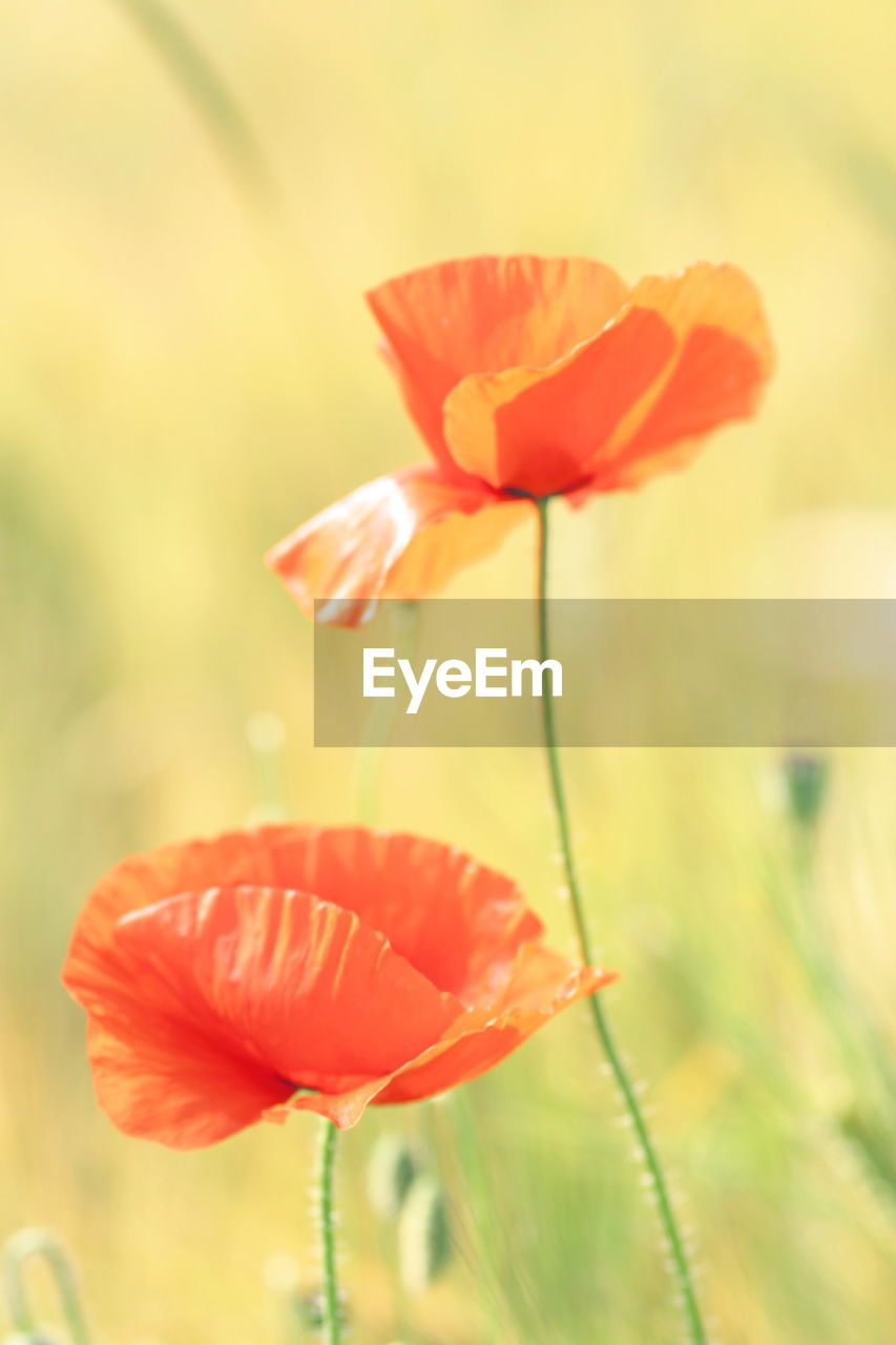Close-Up Of Poppy Blooming Outdoors