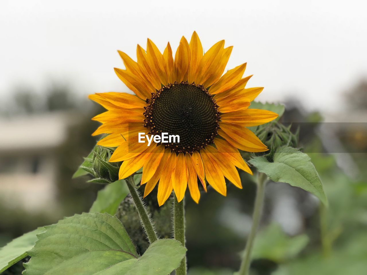 flowering plant, flower, yellow, plant, growth, flower head, petal, vulnerability, fragility, beauty in nature, freshness, inflorescence, focus on foreground, sunflower, close-up, nature, pollen, leaf, day, outdoors