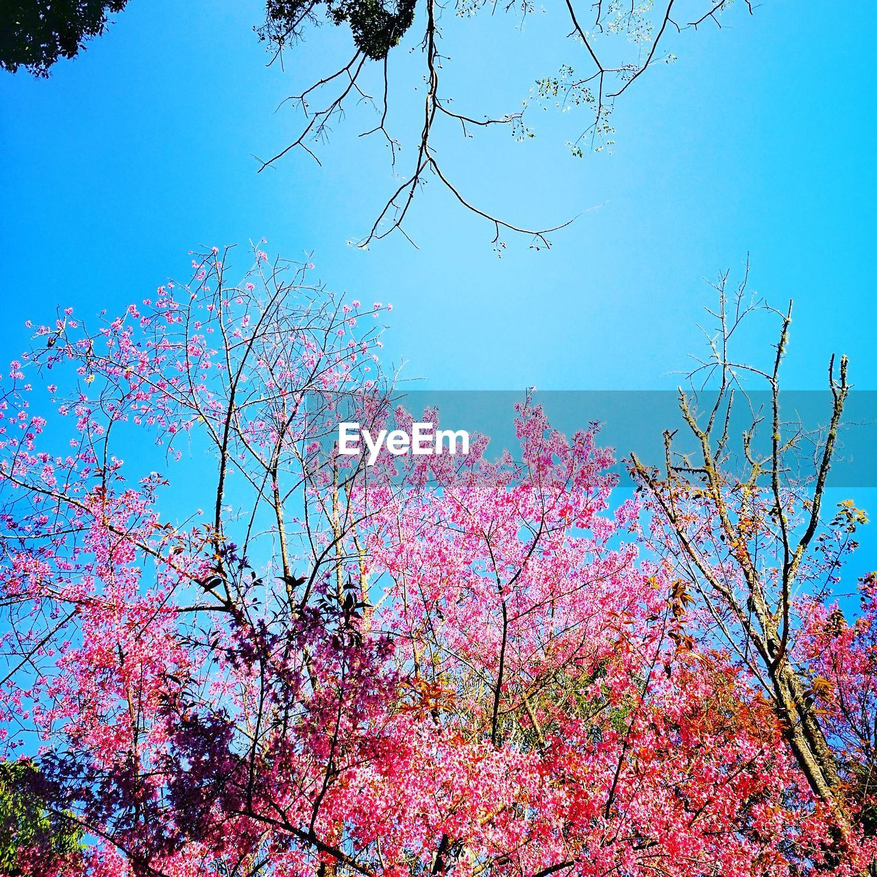 tree, low angle view, beauty in nature, flower, branch, nature, growth, day, blossom, no people, blue, outdoors, clear sky, freshness, sky, springtime, scenics, fragility