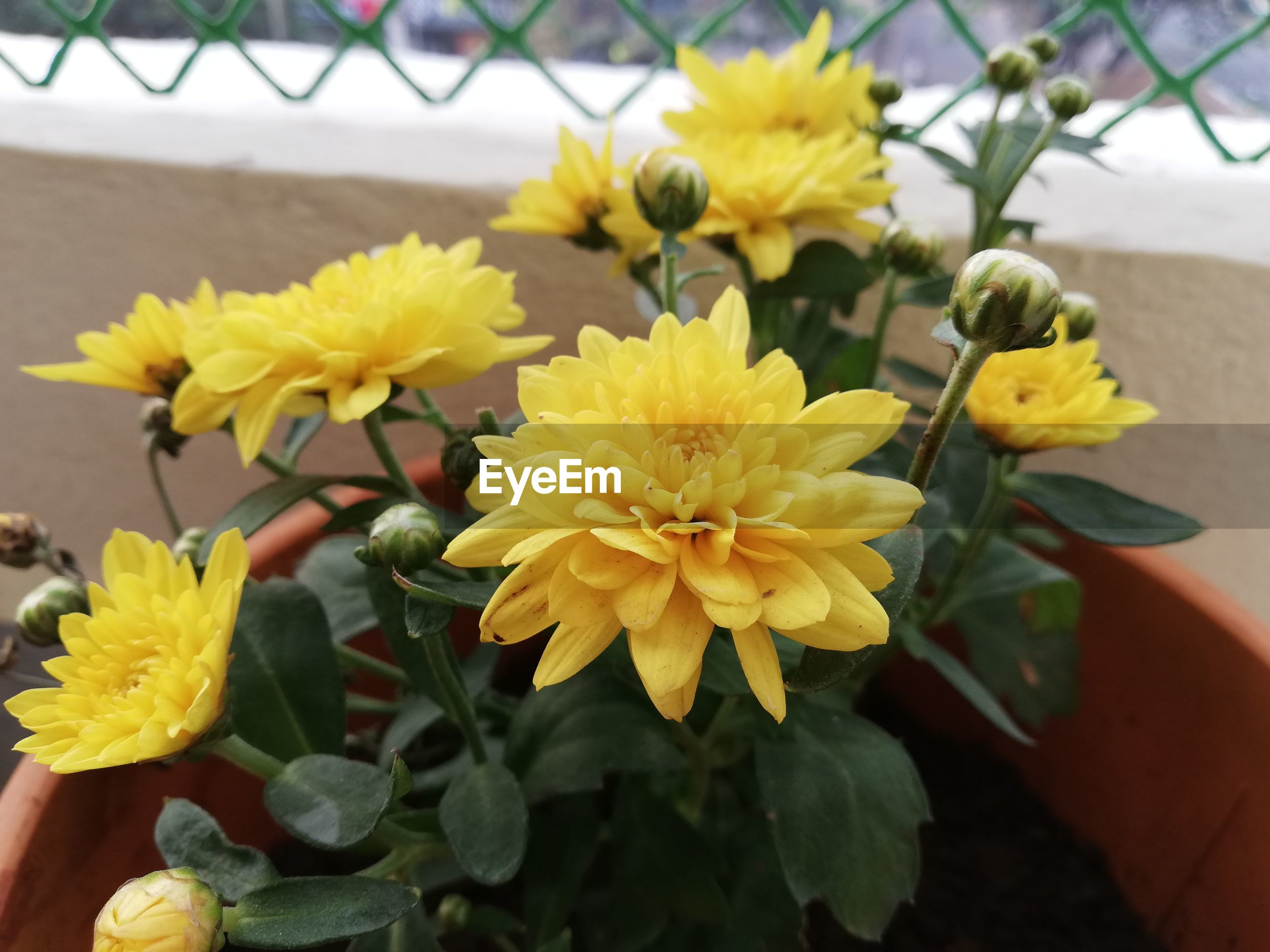 CLOSE-UP OF YELLOW FLOWERS ON PLANT