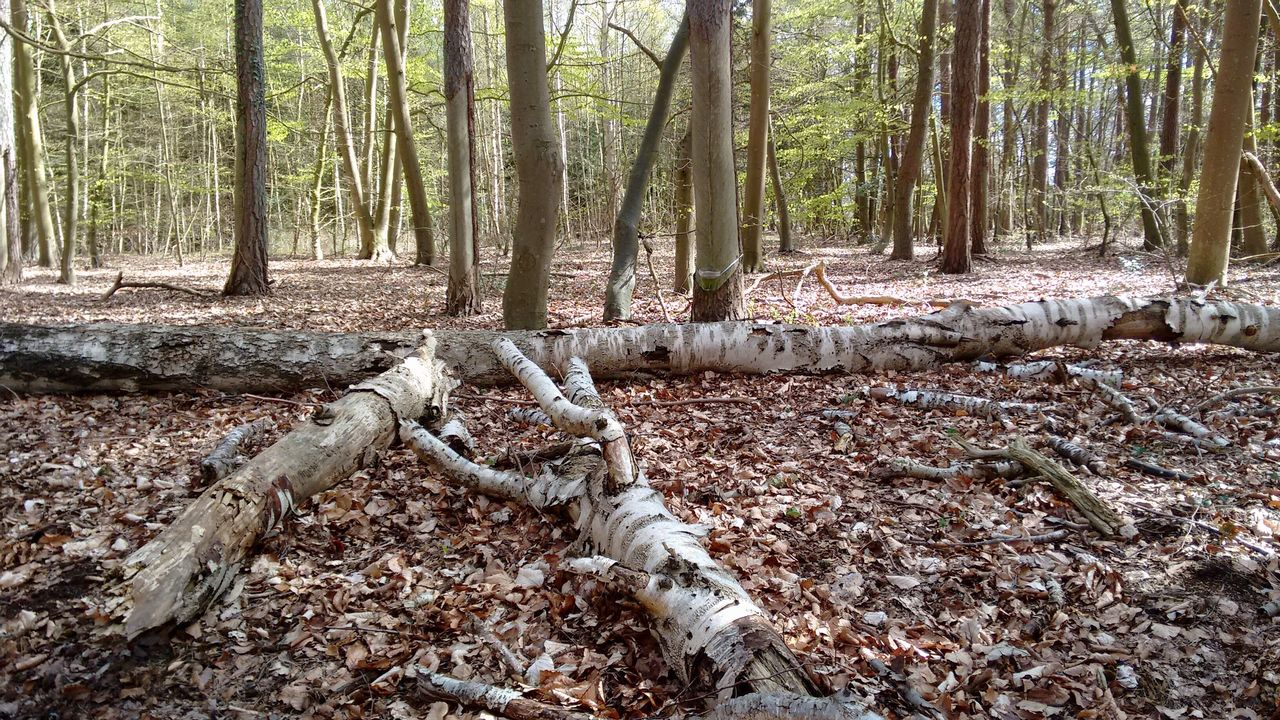 forest, tree, nature, tree trunk, no people, day, outdoors, woodland, tranquility, growth, scenics, beauty in nature, branch