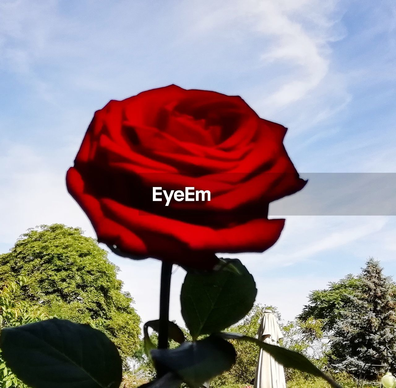 plant, sky, nature, red, cloud - sky, tree, growth, no people, beauty in nature, flowering plant, flower, low angle view, day, outdoors, close-up, flower head, vulnerability, representation, rose, fragility