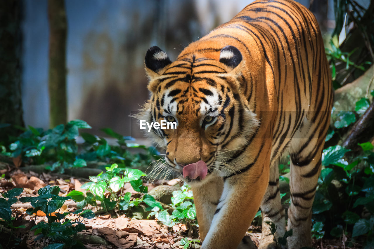 Alert Tiger In The Forest