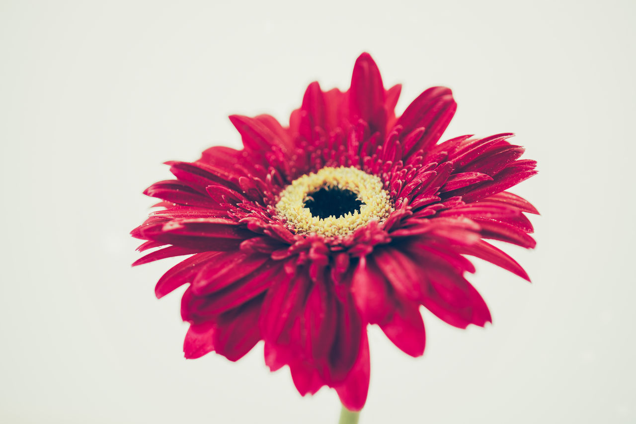 studio shot, inflorescence, white background, flower head, fragility, flowering plant, petal, vulnerability, flower, red, freshness, close-up, beauty in nature, indoors, gerbera daisy, daisy, plant, pollen, no people