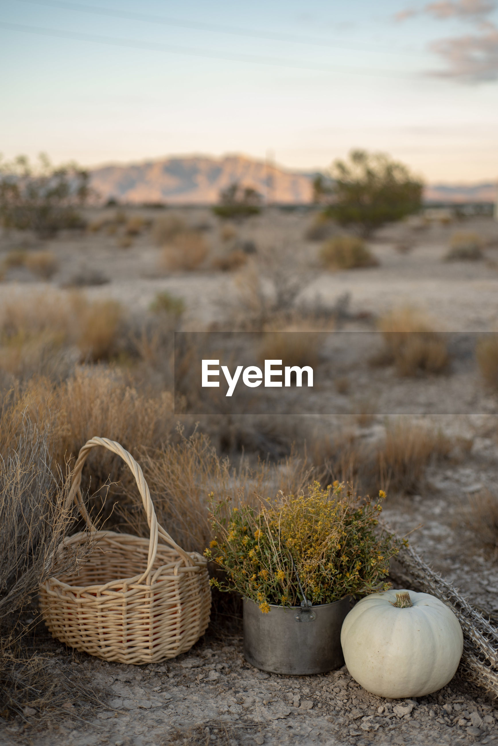 White pumpkin, wildflowers, dried cactus, basket in mojave desert autumn  earth tones