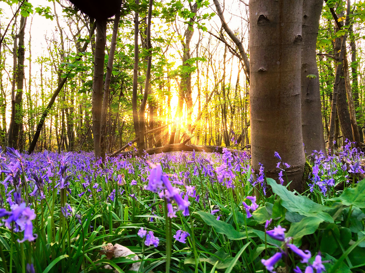 plant, flower, flowering plant, beauty in nature, land, tree, growth, tranquility, nature, tranquil scene, freshness, sunlight, forest, purple, trunk, tree trunk, no people, green color, scenics - nature, vulnerability, outdoors, springtime, flower head, flowerbed