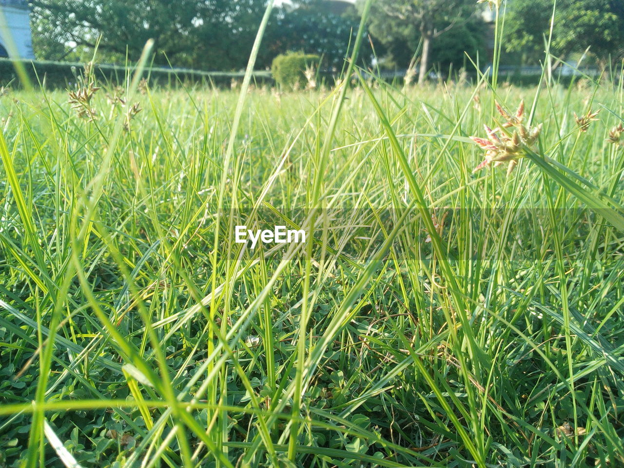 plant, grass, growth, green color, field, land, nature, beauty in nature, day, tranquility, close-up, focus on foreground, no people, landscape, outdoors, freshness, blade of grass, tranquil scene, agriculture, rural scene