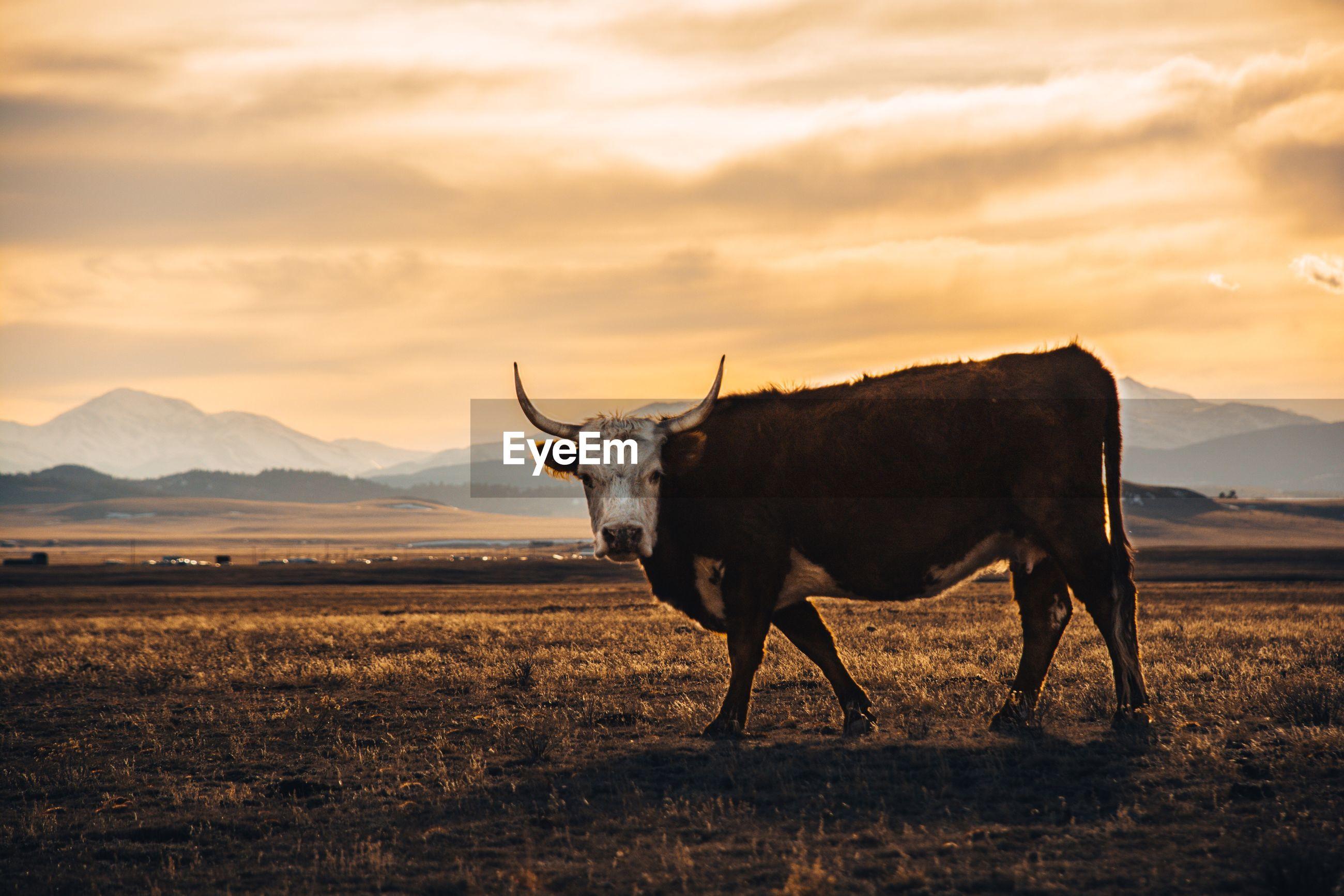 View of bull on landscape against sky