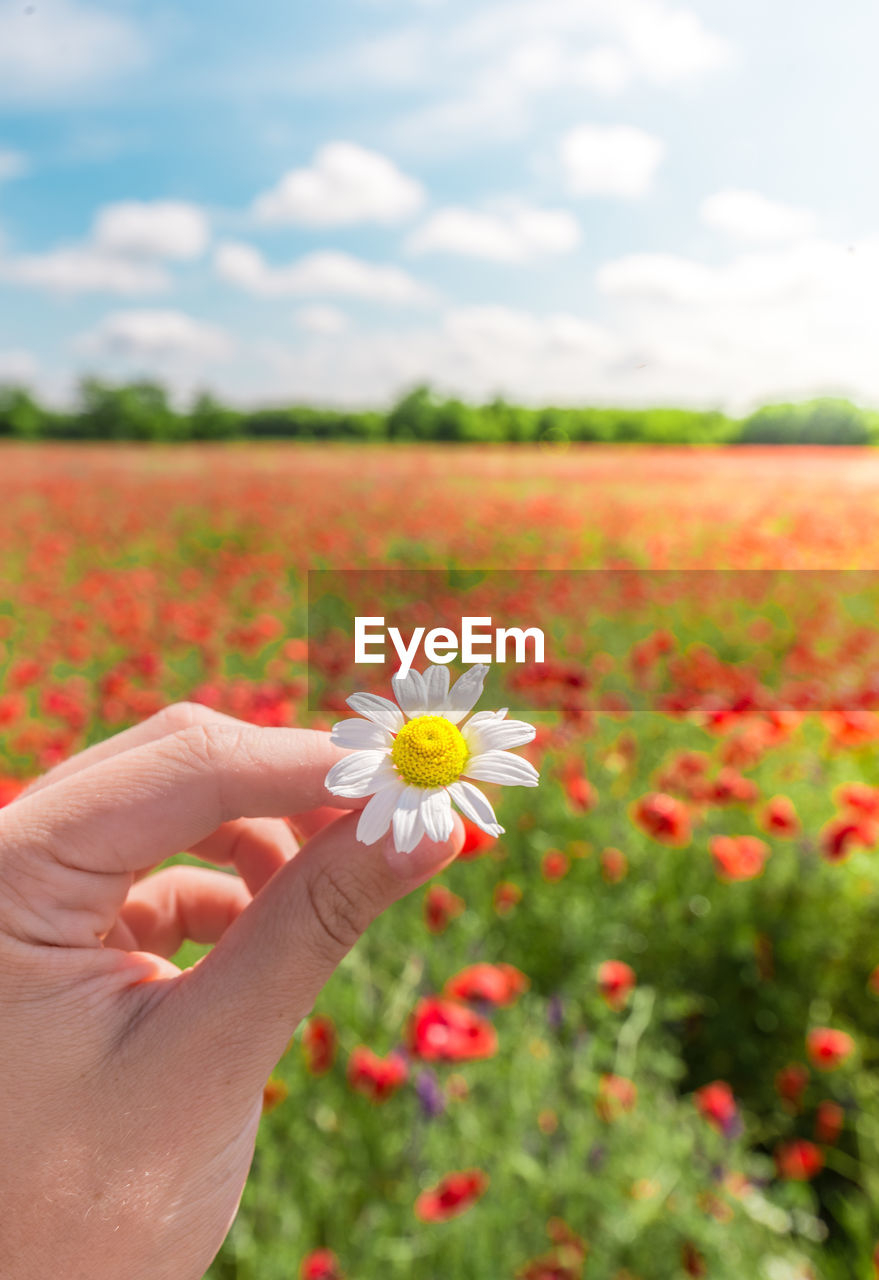 Close-up of human hand holding white flower on field during sunny day