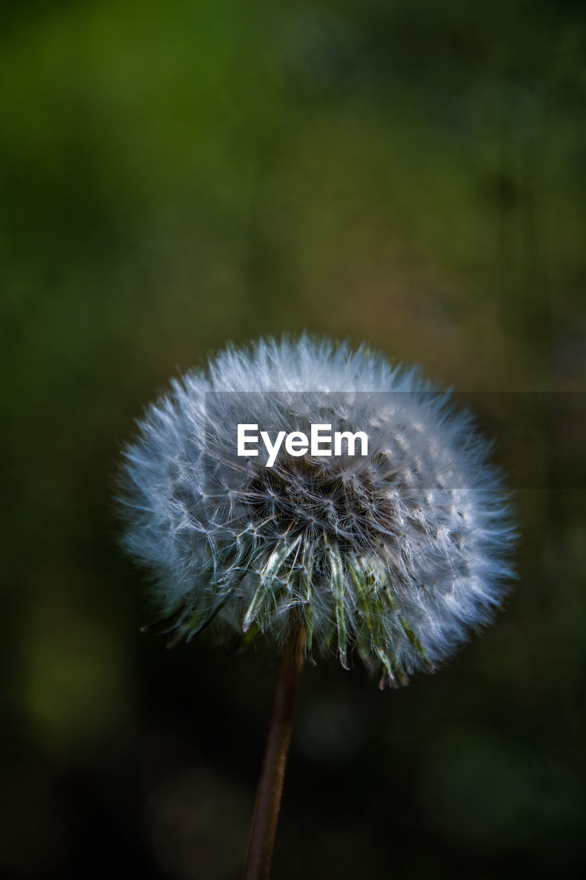 vulnerability, fragility, dandelion, flower, plant, freshness, flowering plant, close-up, beauty in nature, growth, focus on foreground, inflorescence, nature, flower head, no people, plant stem, softness, dandelion seed, day, outdoors