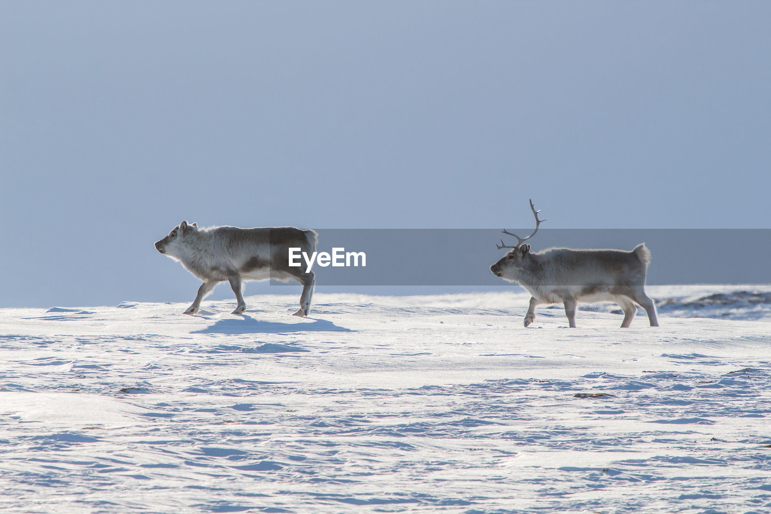 Side view of deer walking on snow field against clear sky