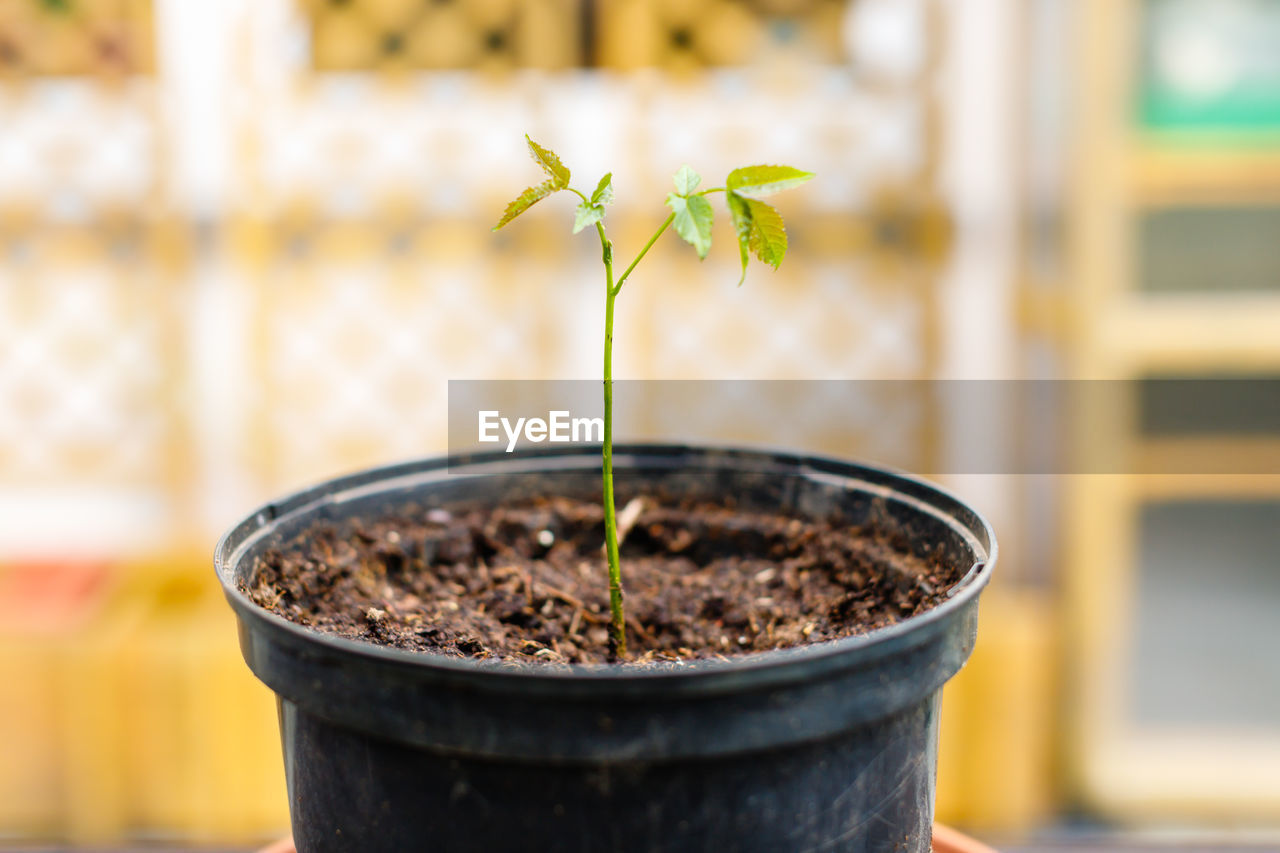 plant, growth, potted plant, close-up, focus on foreground, nature, seedling, no people, new life, beauty in nature, beginnings, day, botany, outdoors, dirt, plant part, leaf, selective focus, freshness, flower pot, small, gardening