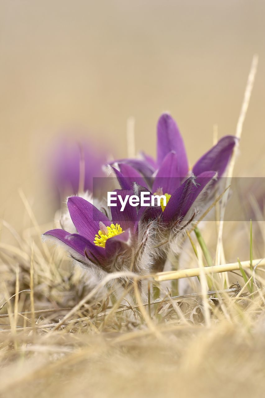 flowering plant, flower, plant, freshness, selective focus, vulnerability, beauty in nature, fragility, growth, nature, close-up, purple, petal, no people, land, field, flower head, day, inflorescence, crocus, iris, outdoors