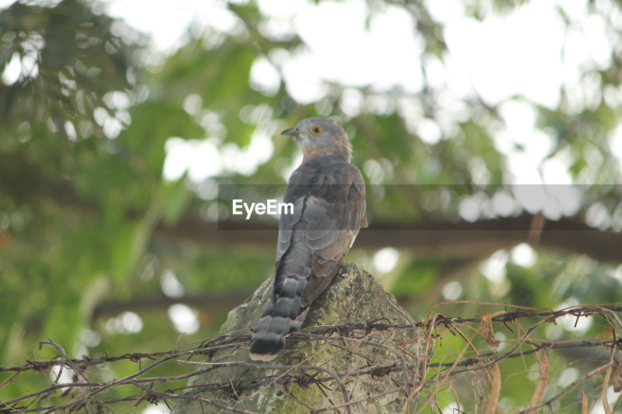 bird, one animal, animal themes, animals in the wild, animal wildlife, tree, perching, focus on foreground, branch, low angle view, day, no people, nature, outdoors, bird of prey, sparrow, close-up, mourning dove, sky