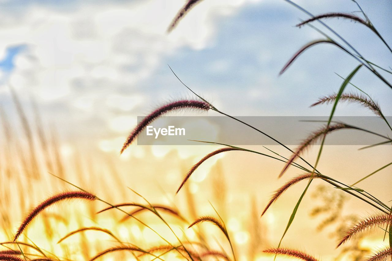 nature, growth, plant, field, beauty in nature, cereal plant, no people, outdoors, sky, day, sunset, timothy grass, close-up, rural scene, grass, wheat, freshness