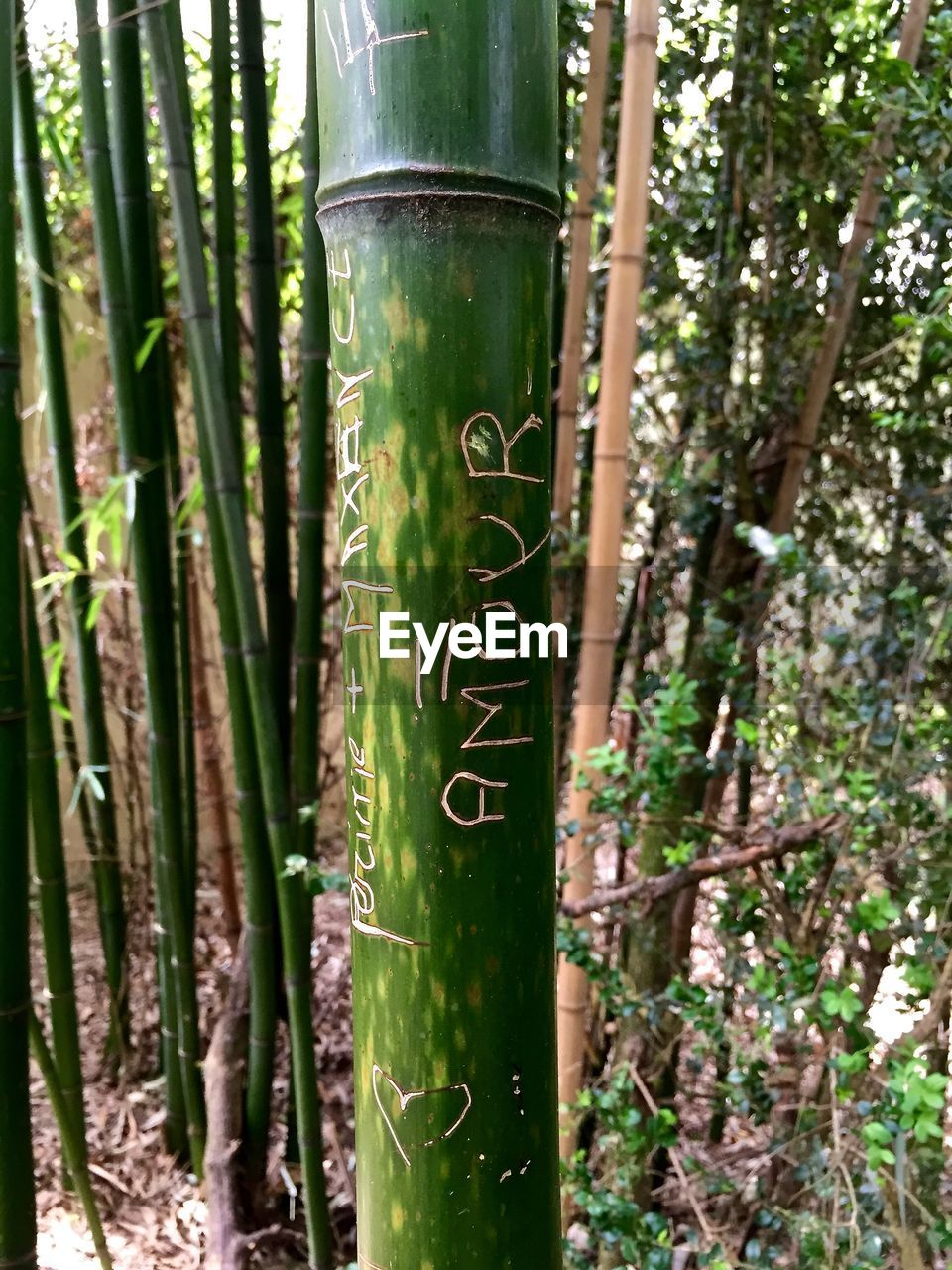 Close up of bamboo trunk with carved sign 'love' in french
