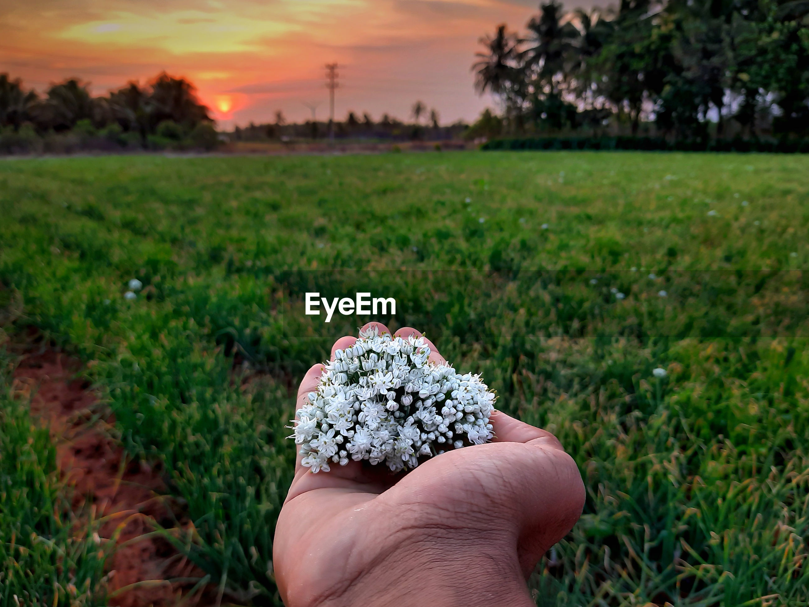 Man holding white flowers over filed against sky during sunset