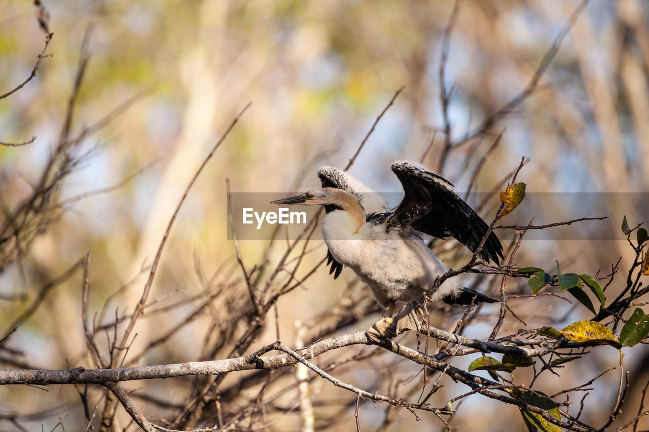 bird, vertebrate, animal wildlife, animal themes, animals in the wild, animal, perching, one animal, tree, branch, no people, focus on foreground, plant, day, nature, outdoors, selective focus, bare tree, close-up, zoology