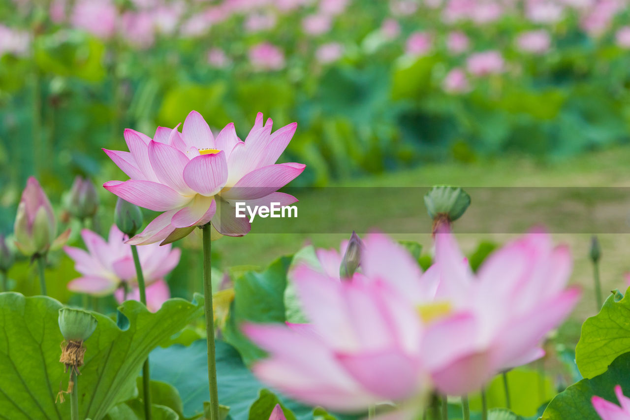 flower, flowering plant, plant, petal, freshness, beauty in nature, vulnerability, growth, fragility, pink color, close-up, inflorescence, flower head, nature, water lily, day, leaf, focus on foreground, plant part, no people, outdoors, lotus water lily