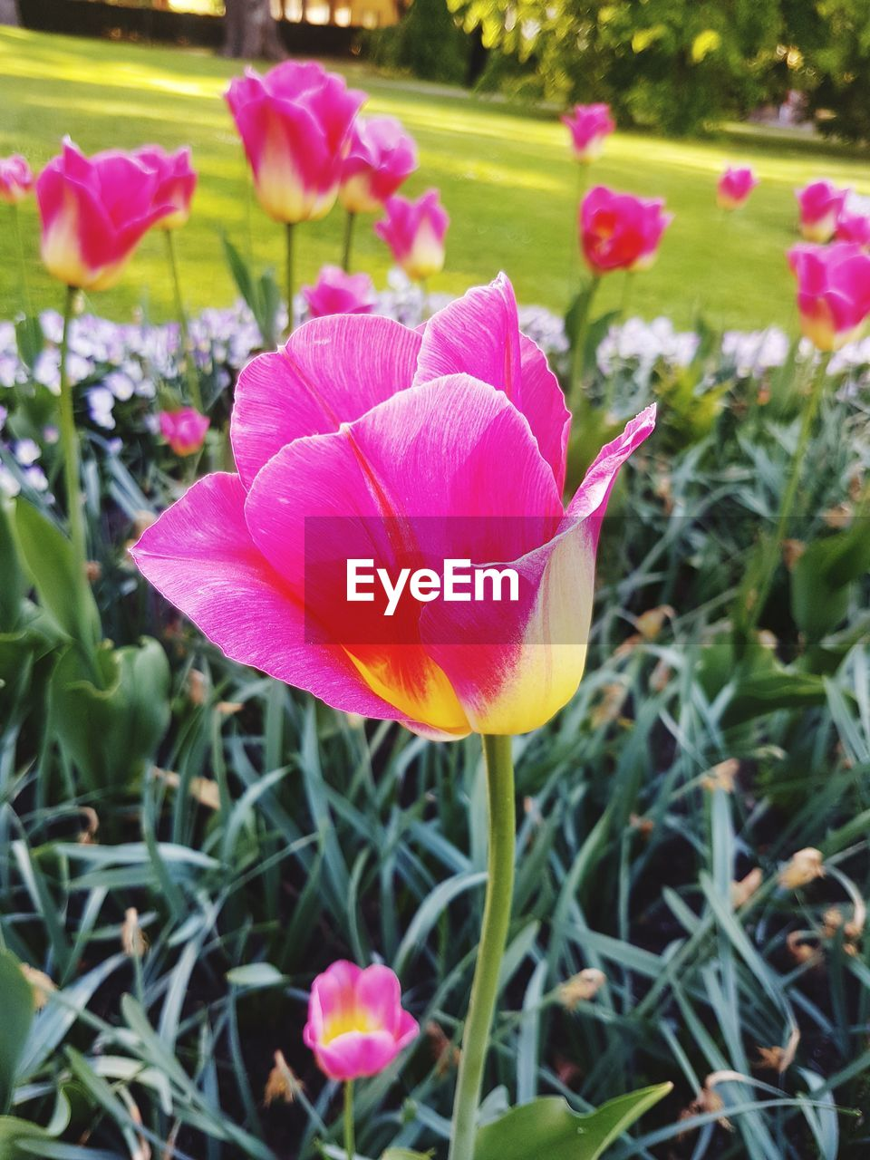 flower, petal, growth, beauty in nature, nature, fragility, pink color, flower head, freshness, plant, blooming, day, no people, outdoors, green color, close-up, focus on foreground, leaf, springtime, crocus